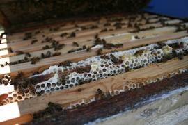 Les abeilles sur les cadres
